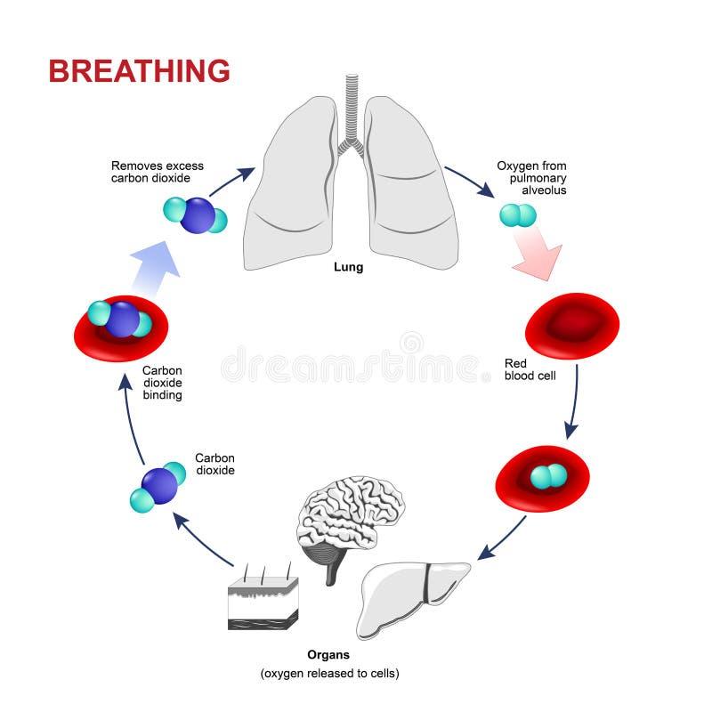 呼吸作用或呼吸 皇族释放例证