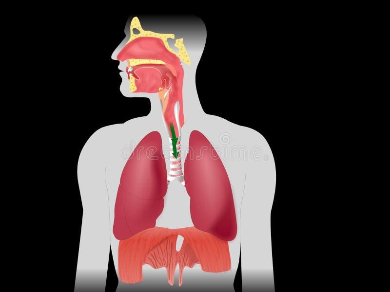 呼吸作用 向量例证