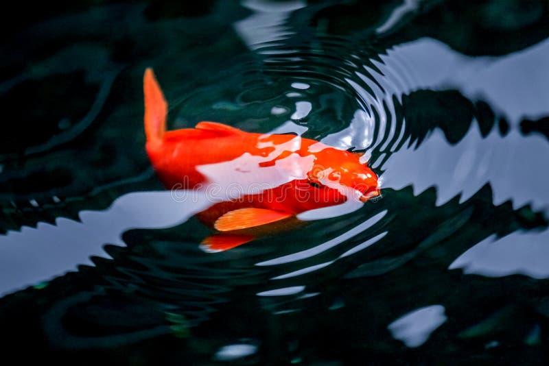 呼吸在水表面的橙色花梢鲤鱼 免版税库存图片