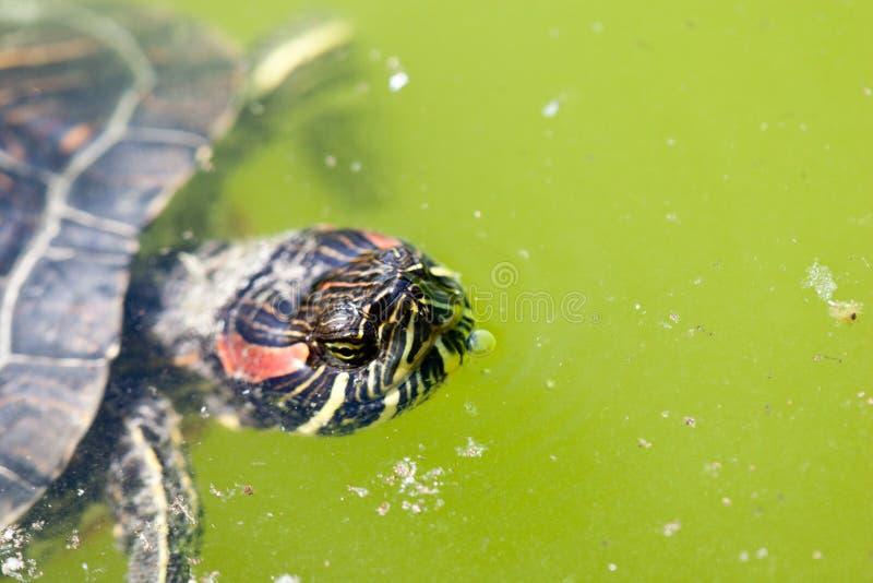 呼吸的乌龟 图库摄影