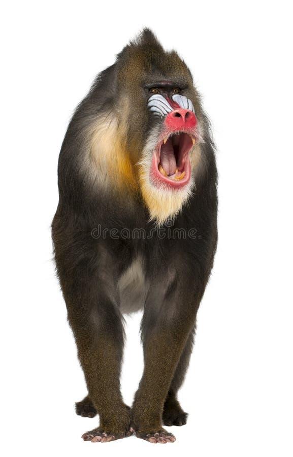 呼喊的Mandrill, Mandrillus狮身人面象 库存图片