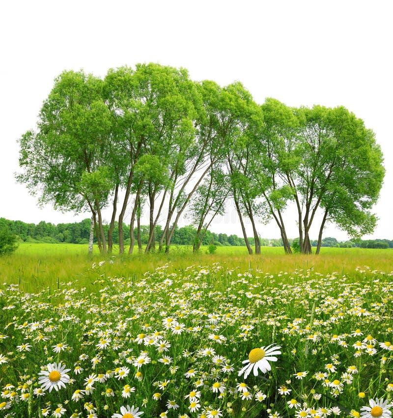 延命菊的领域与树的 免版税库存照片