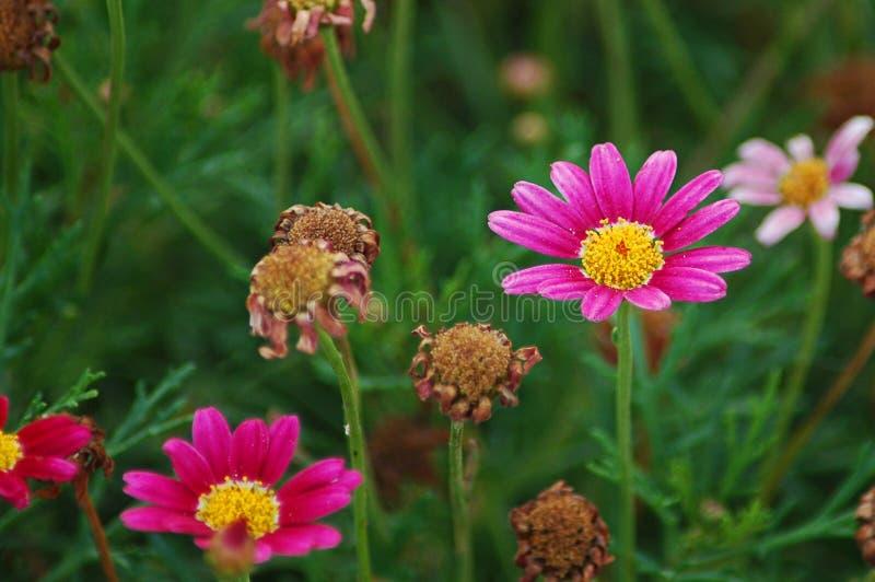 延命菊雏菊在绽放的夏天 免版税库存照片
