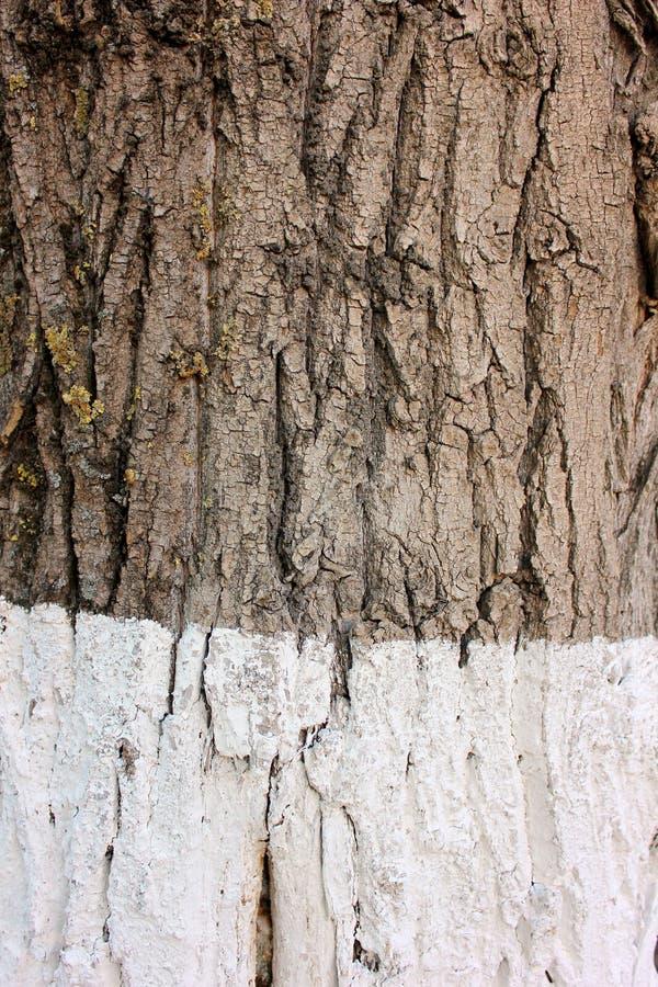 咆哮在一棵老白杨树的树干 免版税库存图片