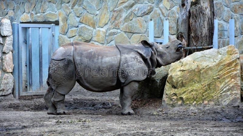 咆哮在动物园里的犀牛 免版税库存照片
