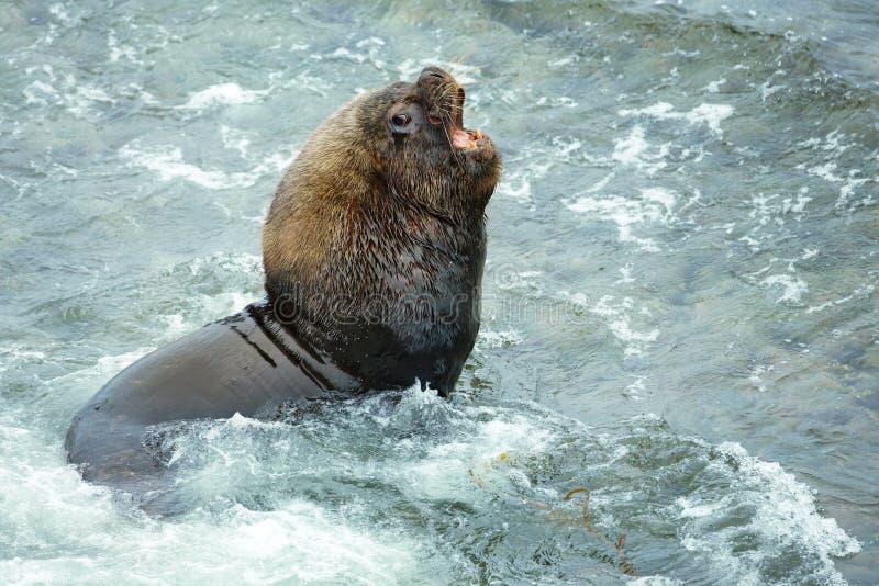 咆哮在大西洋海岸的大海狮男性由Th 库存图片
