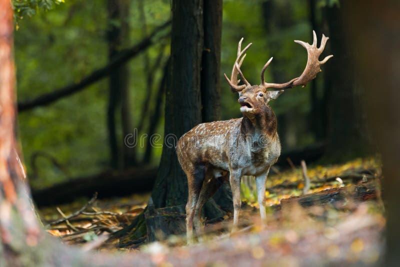 咆哮在它的疆土的小鹿雄鹿在rutting季节的森林里 免版税库存图片