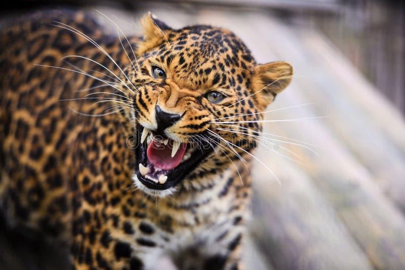 咆哮在照相机前面的一头美丽的豹子的画象 库存图片