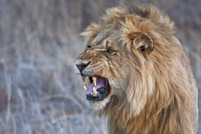 咆哮恼怒的狮子 免版税库存图片