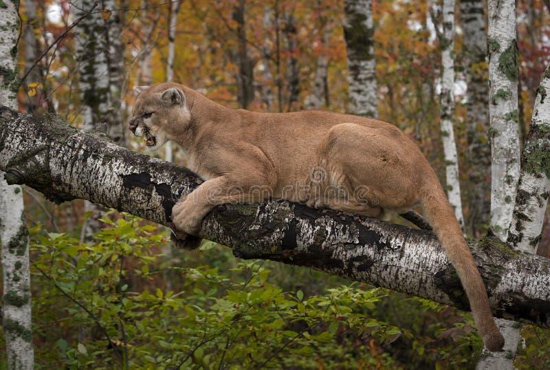 咆哮成年男性美洲狮美洲狮concolor 免版税图库摄影