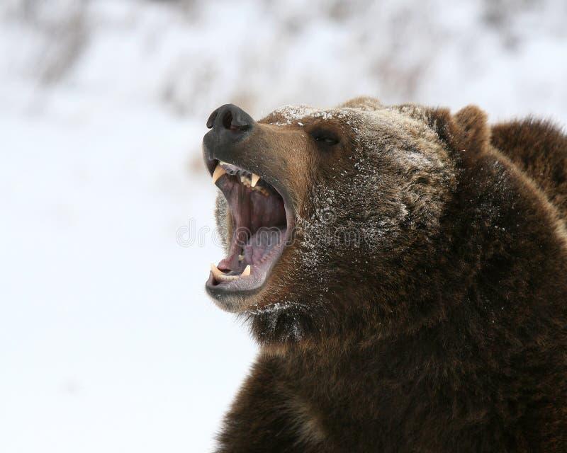 咆哮熊的北美灰熊 库存图片