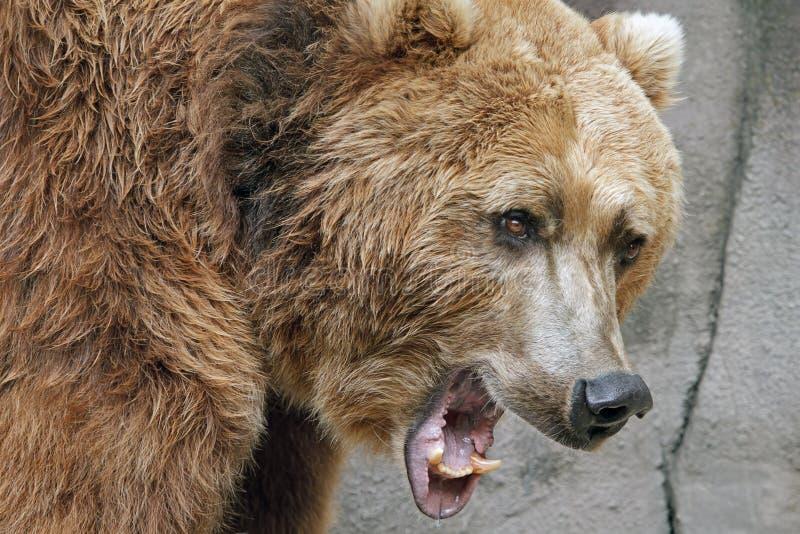 咆哮熊的北美灰熊 库存照片
