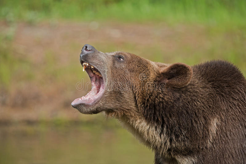 咆哮熊的北美灰熊 免版税库存照片