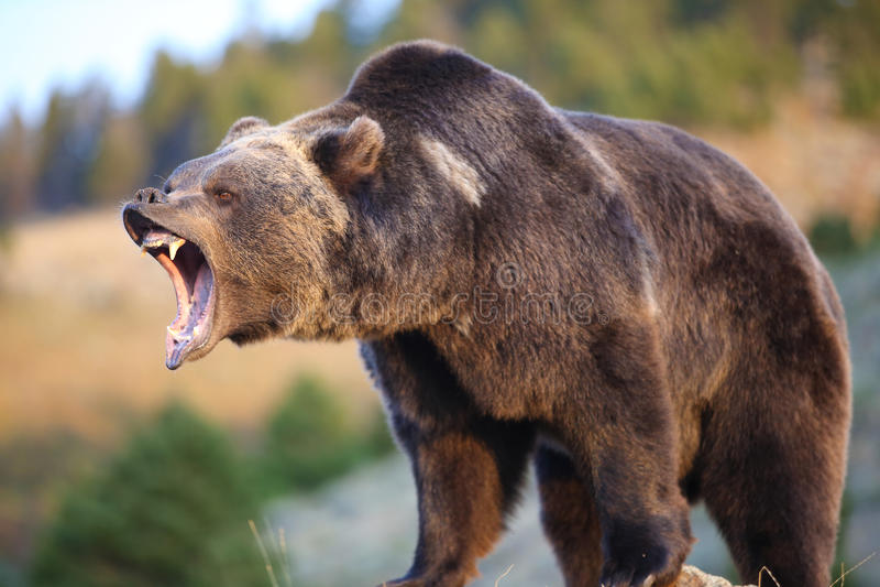 咆哮的北美灰熊 库存照片