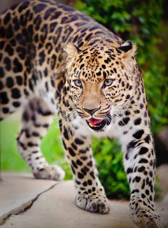咆哮的豹子 免版税库存照片
