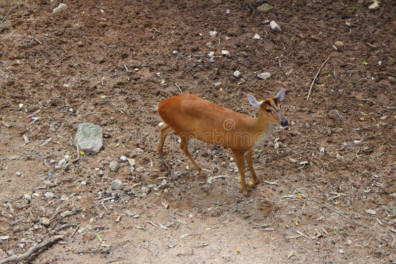 咆哮的鹿 免版税库存照片