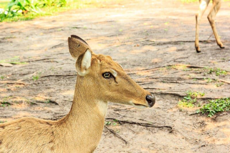 Download 咆哮的鹿 库存照片. 图片 包括有 敌意, 重婚, 本质, 蹄形, 叶子, 骡子, 哺乳动物, 眼睛, 公园 - 72368574