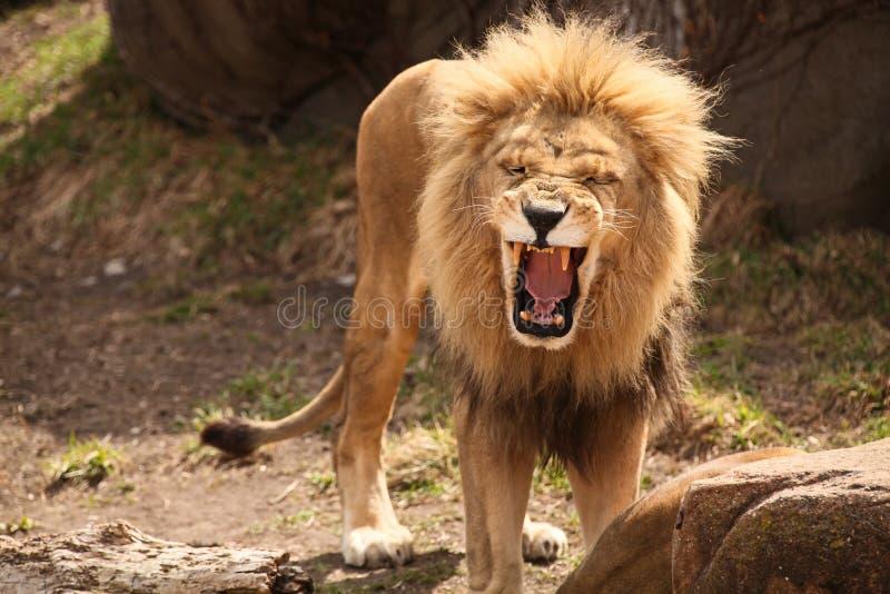 咆哮笑的狮子 免版税库存照片