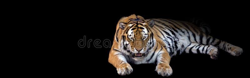 咆哮老虎横幅 图库摄影