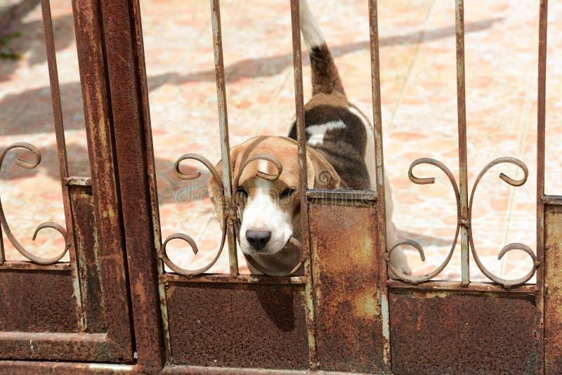咆哮逗人喜爱的狗使用和 免版税库存照片