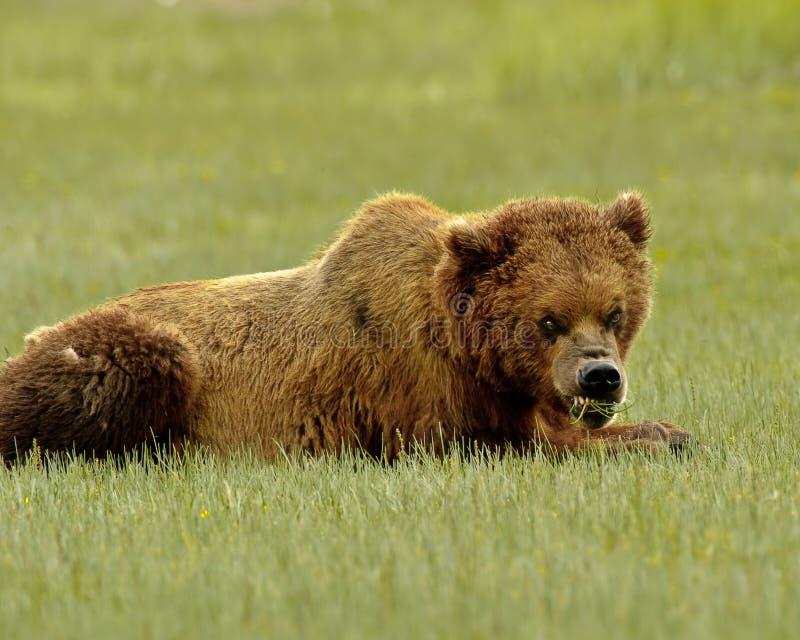 咆哮阿拉斯加的熊的北美灰熊 免版税库存照片