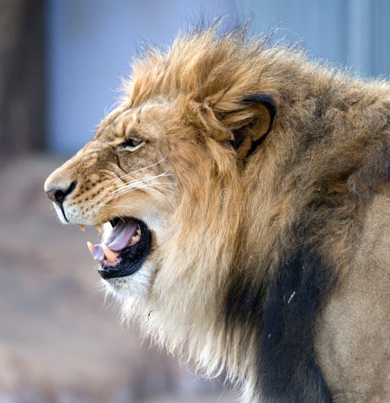 咆哮非洲的狮子 免版税库存照片