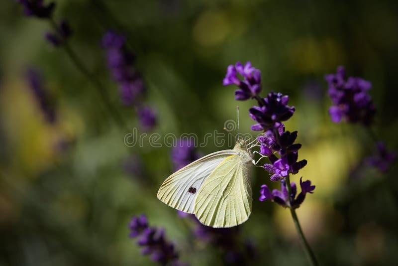 和哺养坐淡紫色花的小白色蝴蝶 免版税库存图片