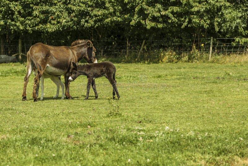 驴和它不理智 图库摄影