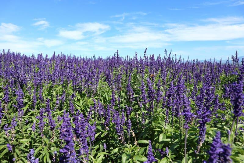 和平开花的淡紫色农场在好的天空下 库存图片