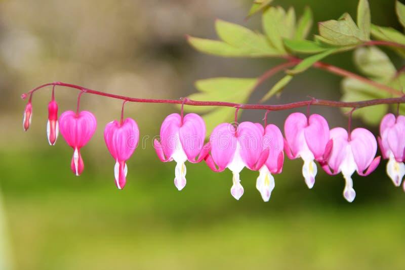 和平或狂放的心脏出血,荷包牡丹属植物福摩萨,在词根的花有bokeh背景,宏观,选择聚焦,浅DOF 库存图片