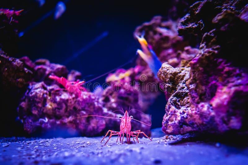 和平的擦净剂虾在一个珊瑚礁水中环境里 库存图片
