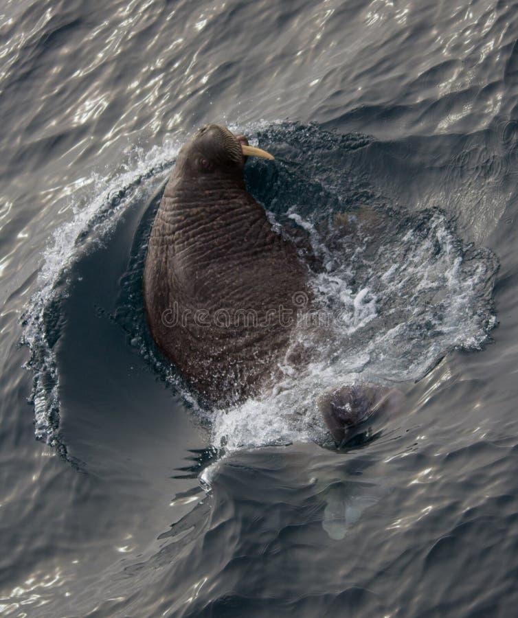 和平的海象的相识 库存照片