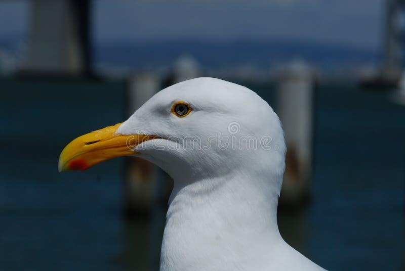 和平的海鸥在旧金山 库存图片