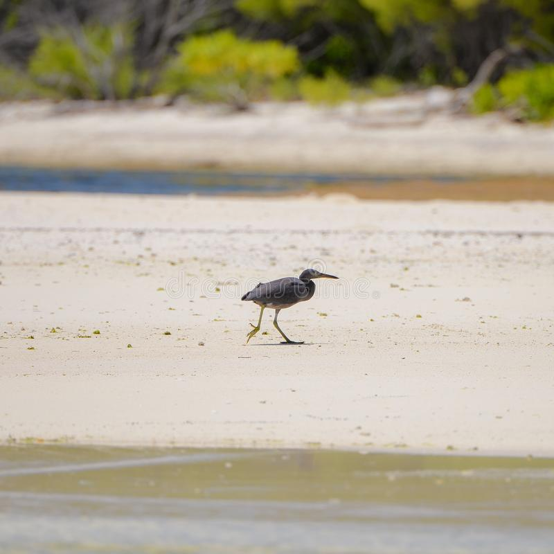 和平的礁石苍鹭 库存图片