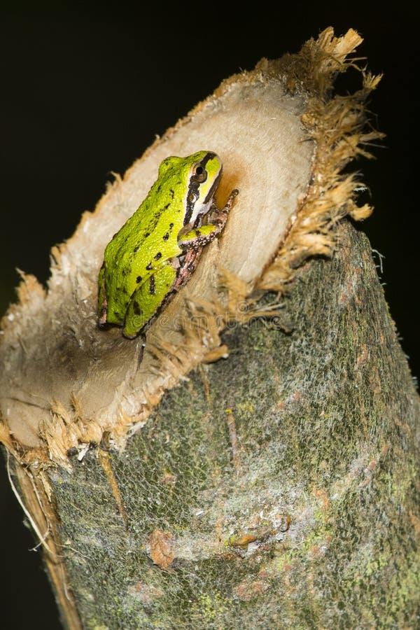 和平的雨蛙(Pseudacris regilla) 库存图片