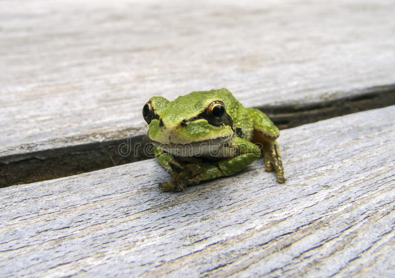 和平的雨蛙Pseudacris regilla 库存照片