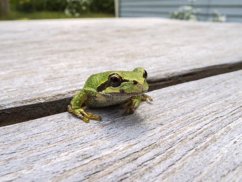 和平的雨蛙Pseudacris regilla 库存图片