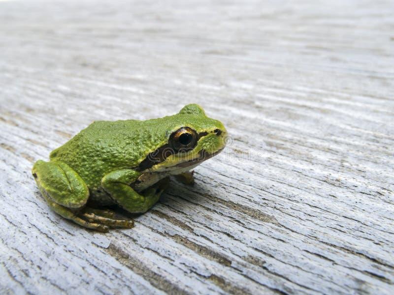 和平的雨蛙Pseudacris regilla 免版税库存照片