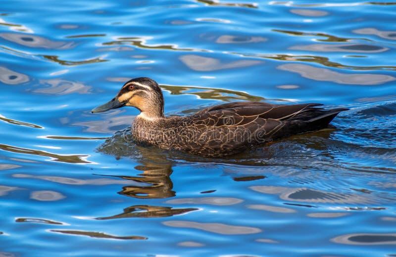 和平的黑鸭游泳在湖 库存图片
