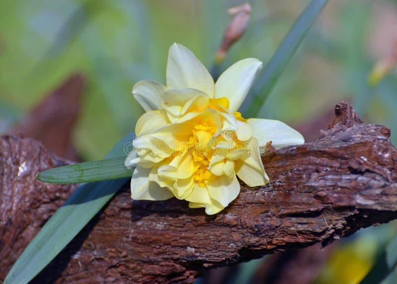 黄水仙和木头 库存图片