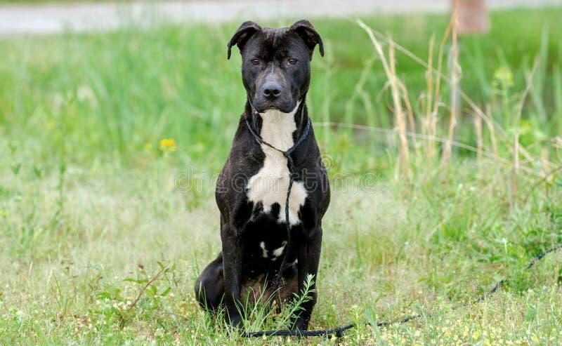 黑和烟草花叶病的Pitbull被混合的品种狗 库存图片