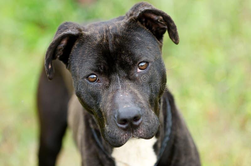黑和烟草花叶病的Pitbull被混合的品种狗 免版税库存图片