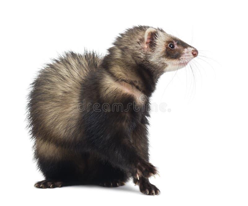 Download 看起来的白鼬坐和正确 库存照片. 图片 包括有 有效地, 到达, 脊椎动物, 剪切, 射击, 哺乳动物, browne - 30338666