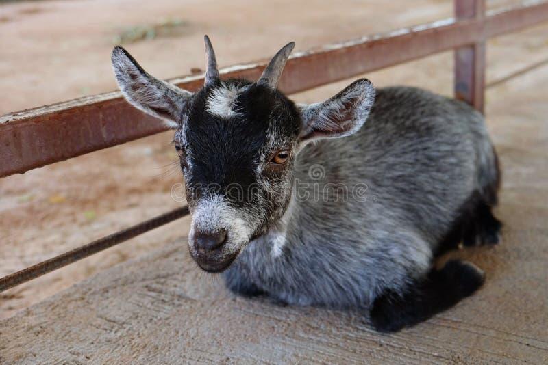 和看照相机的幼小山羊坐水泥地面在农场 库存照片