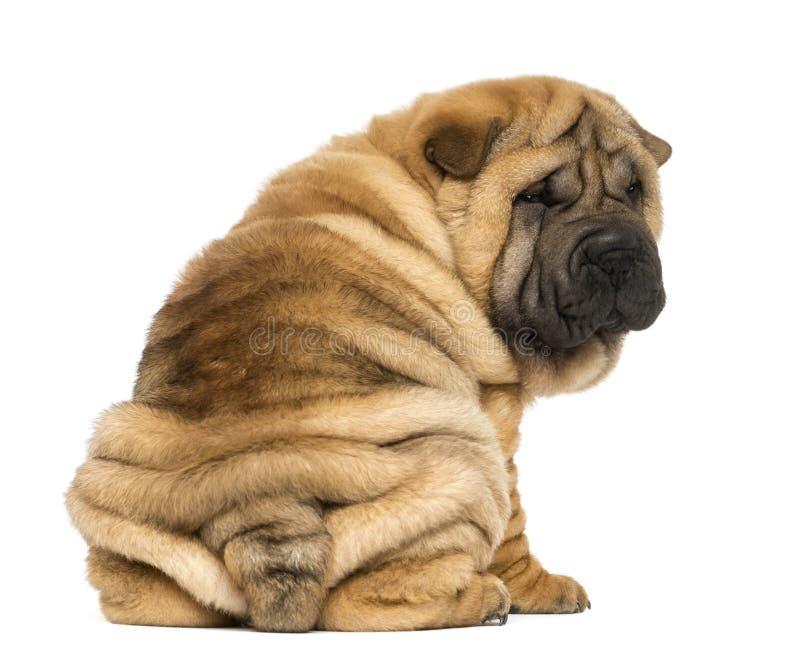 坐和看照相机的后面观点的Shar pei小狗 库存图片