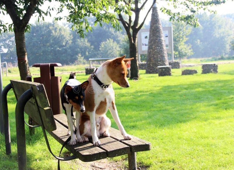 和站立坐一家木银行的一条同色而浓淡不同和一条三颜色basenji狗获得乐趣 库存图片