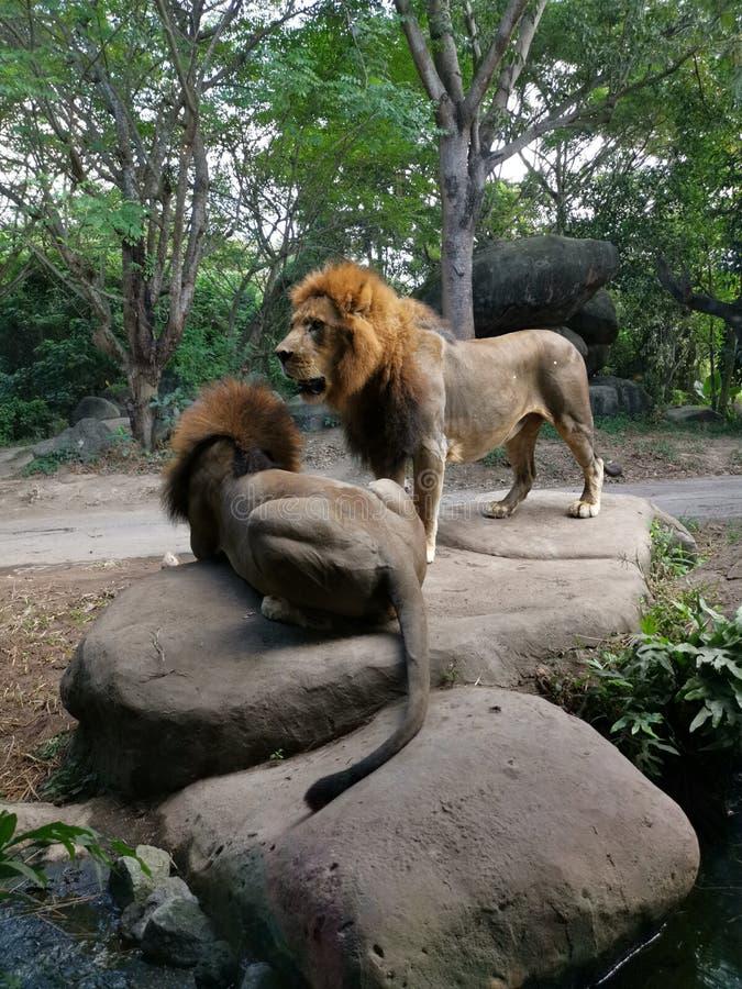 和站立坐石头的两头狮子 库存图片