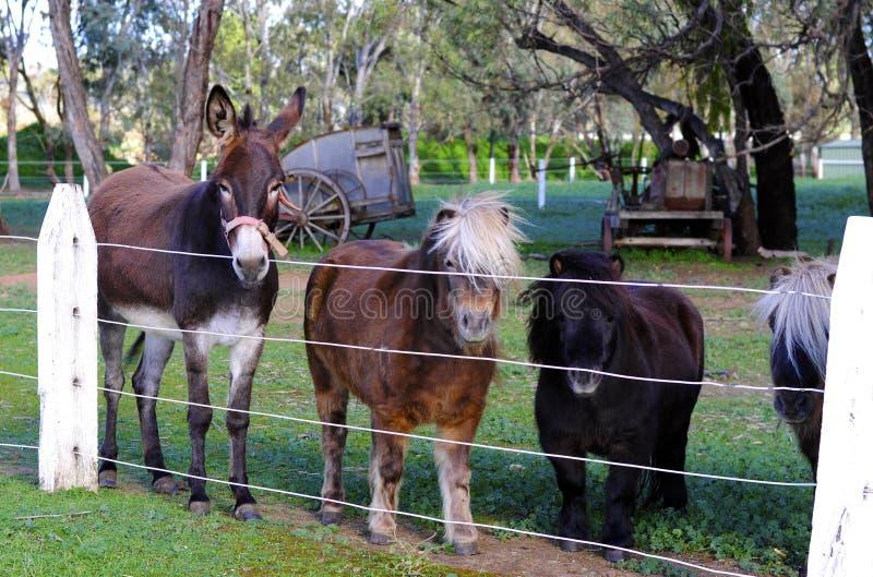 驴和等待访客的舍特兰群岛小马在Kuchel庄园的入口 免版税库存图片