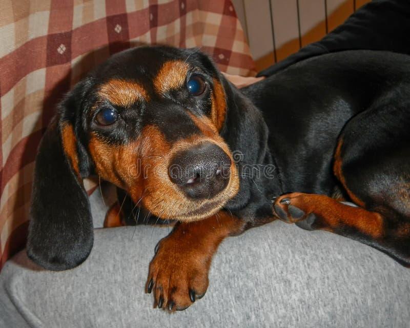 黑和红色说谎的达克斯猎犬 免版税库存图片