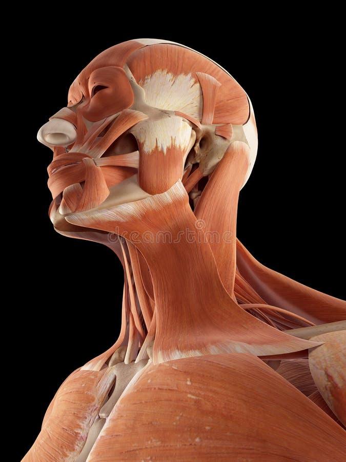 头和脖子肌肉 皇族释放例证